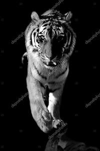 дикий тигр