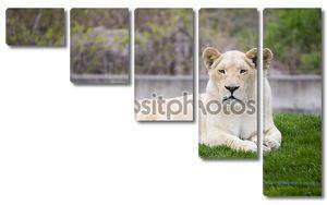 Белая львица в зоопарк Торонто