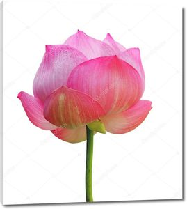 Цветок лотоса на белом фоне