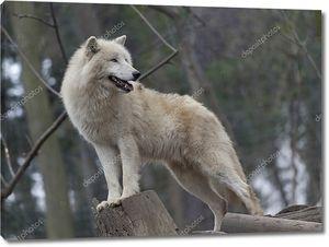 Белый арктический волк в зоопарке