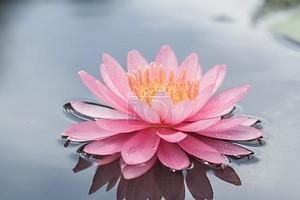 Розовые лилии воды в пруду