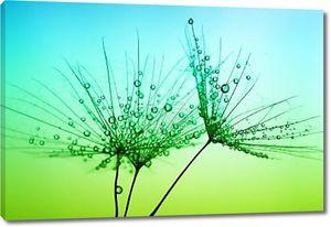 Семена одуванчика с каплями воды