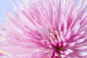 крупным планом изображение цветка хризантемы