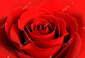 Красная роза. Крупный план