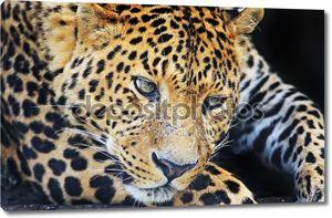Леопард в Шри-Ланке
