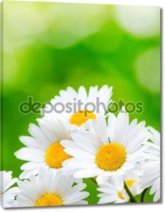 Цветы ромашки на зеленом фоне