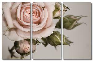 Прекрасная роза