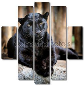 Черный леопард самка