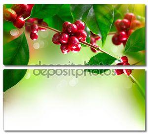 Растение кофе. ветка дерева с спелые бобы кофе