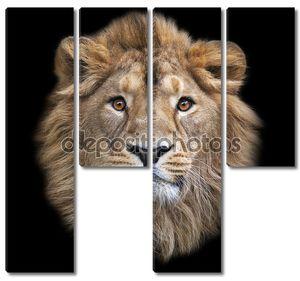 лицо азиатского льва, изолированные на черном фоне. Царь зверей, большой кошкой в мире, глядя прямо в камеру. наиболее опасные и могучий хищник мира.