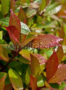 Капли воды на листьях красный en зеленый