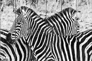 Две зебры в поле