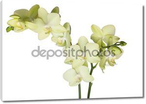 Желтые красивых орхидей