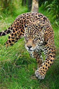 Потрясающие Ягуар Panthera Onca бродят по высокой траве