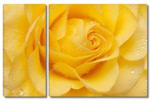 Красивые желтые розы крупно