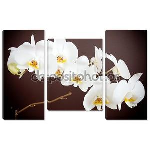 Красивая Орхидея на коричневый фон