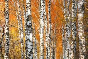 Осенние пожелтевшие березовый лес
