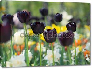 Красивый черный тюльпан цветы