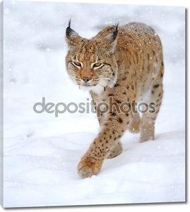 Красивые дикие рысь в зимний период