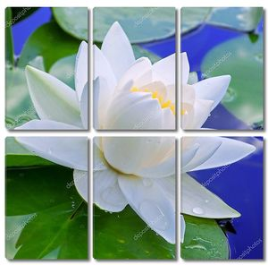 Белая лилия на листьях