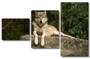 Буффалский волк на скале