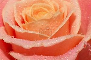 макросъемки Цветущие розовые розы с водой падает на их лепестки