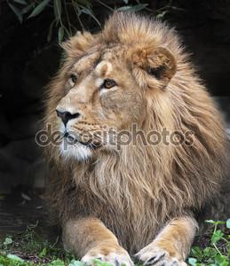 боковой вид азиатского льва, отдыхая в лесной тени. Царь зверей, большой кошкой в мире. наиболее опасные и могучий хищник мира. Дикая красота природы.