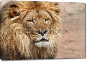 дикий лев