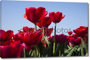 Красные тюльпан
