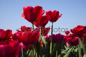 крупный план цветка, тюльпан