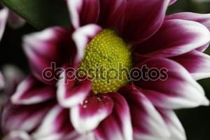 Темно красный цветок в Блум макро природа все еще