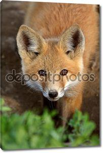 Red Fox щенка в Саскачеване