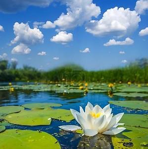 красивые белые кувшинки на озере