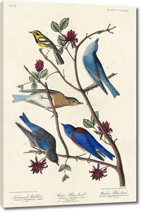 Соловьиная птица Таунсенда, арктическая синяя птица и западная синяя птица
