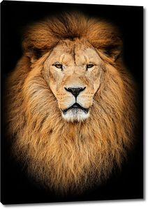 Портрет огромных красивых мужчин Африканский лев против черных backg