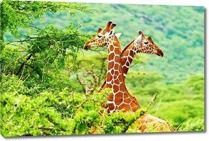 Жирафы Африки