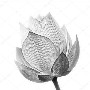 Черно-белый цветок лотоса