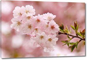 Вишни ветка в цвету