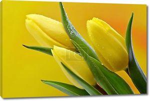 Мокрый тюльпаны