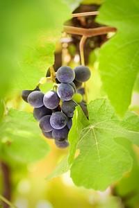 Веточка вкусного винограда в листьях