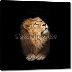 Портрет лежа и глядя вверх молодой Азиатский лев, изолированные на черном фоне.