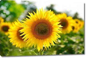 Ряд желтых органических подсолнухов
