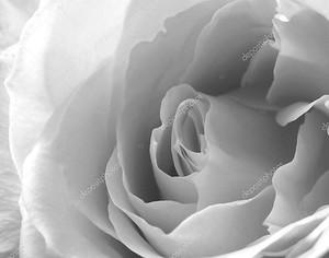 Крупным планом белой розы в черно-белом