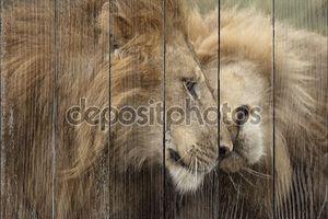 две взрослые львы, Национальный парк Серенгети, Серенгети, Танзания