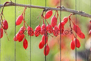 Прутик и ягоды барбариса