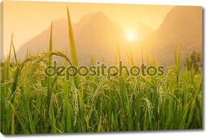 Урожай риса падди
