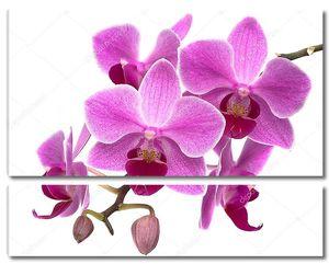 Фиолетовые орхидеи на белом фоне