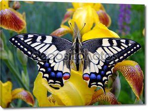 Бабочка Махаон, сидя на цветок