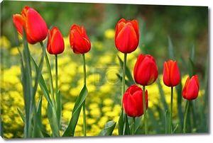 Красные тюльпаны в ряд