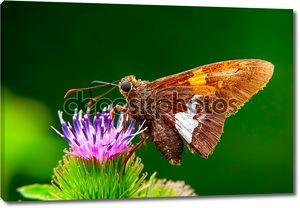 Макросъемки кормления на цветке бабочка
